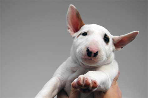 bull terrier bull terrier articles 2puppies