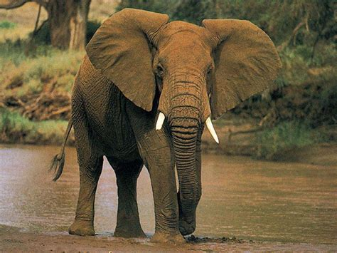 african elephant facts 301 moved permanently