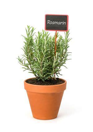 Pflege Rosmarin by Rosmarin Tipps Zur Pflege Garten Pflege