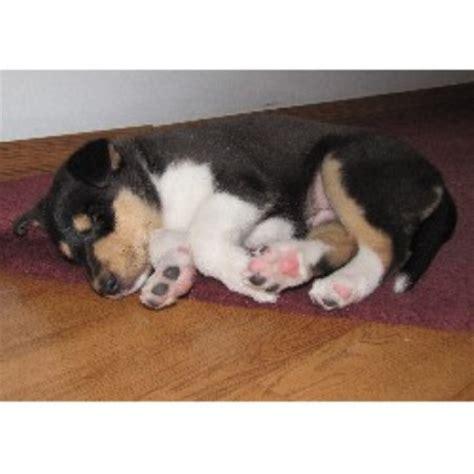 free puppies toledo ohio pyman s collies collie breeder in toledo ohio listing id 12365