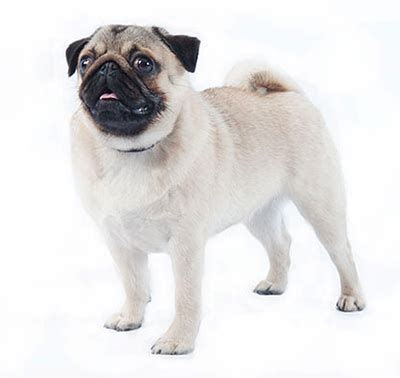 pug diet requirements pug purina