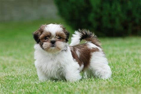 teacup shih tzu health problems top 6 teacup breeds how to choose the right for you