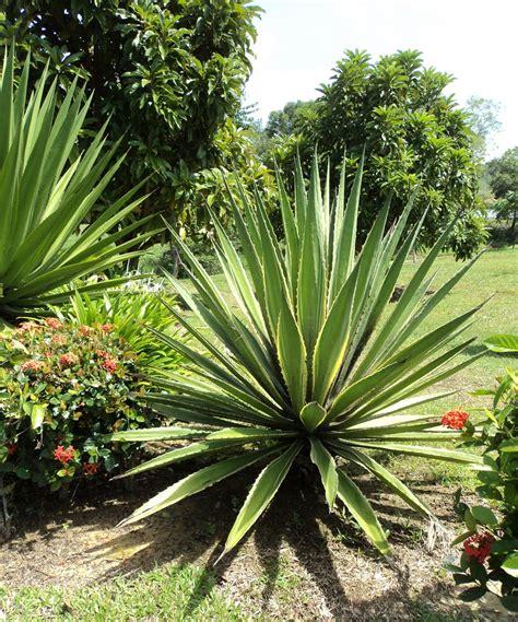 laman kambatik plants list 3rd ed agave americana