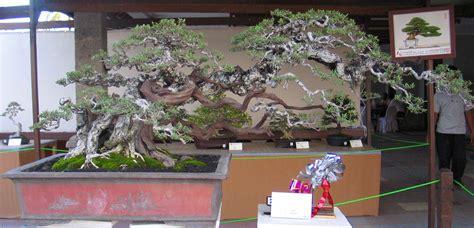 Bakalan Bonsai Dijual Di Bali santigi koleksi sugiyanto pamekasan majalah jelajah bonsai