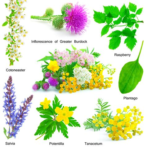 imagenes de flores medicinales plantas medicinales fitoterapia gu 237 a online de