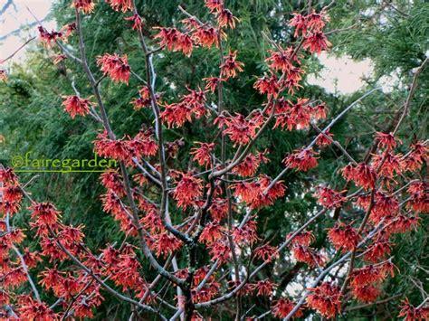 witch hazel hamamelis diane backyard beauty pinterest