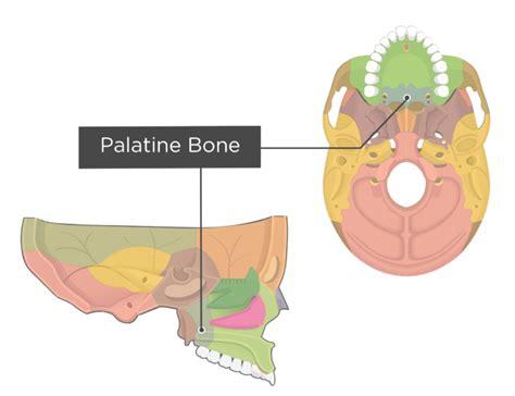 palatine bone palatine bone anatomy