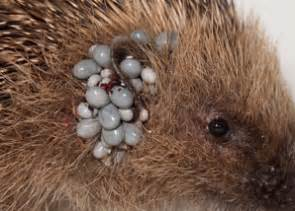 Why Do Dogs Always Want Food St Tiggywinkles Hedgehog Fact Sheet
