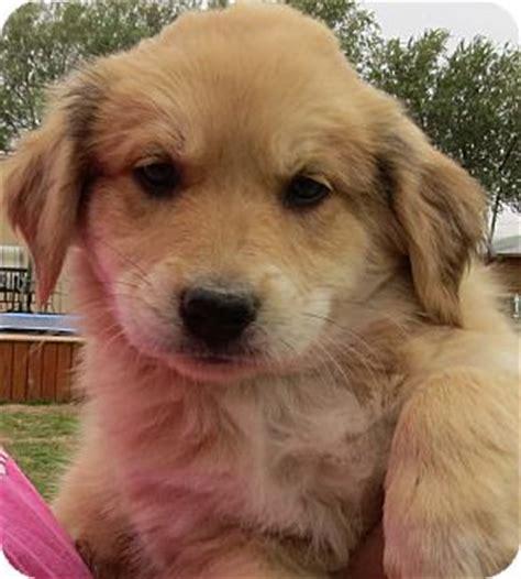snyder golden retrievers pumpkin adopted puppy snyder tx terrier unknown type medium golden retriever mix