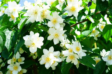 common flowering shrubs common flowering house plants dreamley