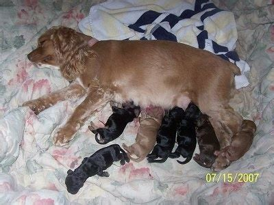 what to feed newborn puppies without american cocker spaniel breed pictures 3