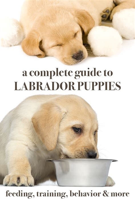 how to a lab puppy labrador puppies a complete guide