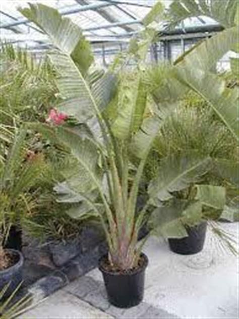 strelitzia reginae in vaso strerlizia augusta in vaso vivaio meraviglie della