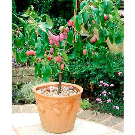 patio fruit tree plum 1 plum trees fruit