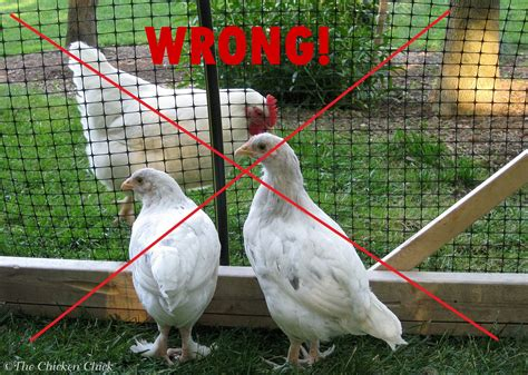 backyard chicken quarantine of backyard chickens when and how the