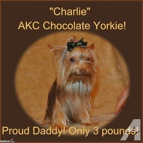tiny yorkies for sale in sc newborn tiny teacup yorkie for sale in alcot south carolina classified