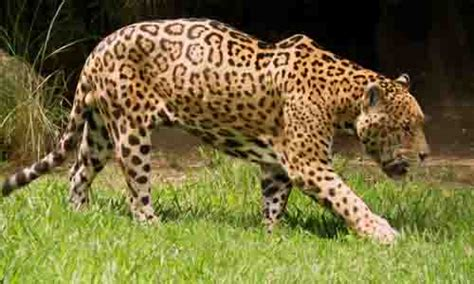 imagenes de animales jaguar 191 por qu 233 esta en peligro de extinci 243 n el jaguar lifeder