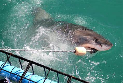 squali volanti foto gli squali volanti sudafrica repubblica it