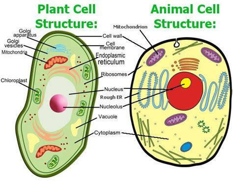 animal cell coloring diagram animal cell model diagram project parts structure labeled