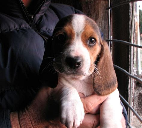 beagle basset hound mix puppies beagle basset hound mix a n i m a l s