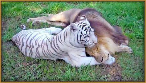 imagenes de tigres y leones juntos imagenes de animales tigres y leones archivos fotos de