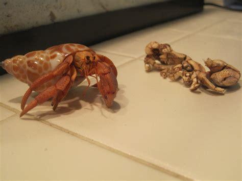 Crab Shedding Skin by Freshly Molted Crab By Maru Sha On Deviantart