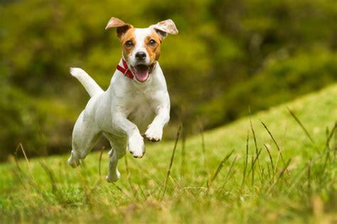hyperactive dogs 犬の面白動画 犬好き 集まれ 犬のおもしろ動画だよ peco ペコ