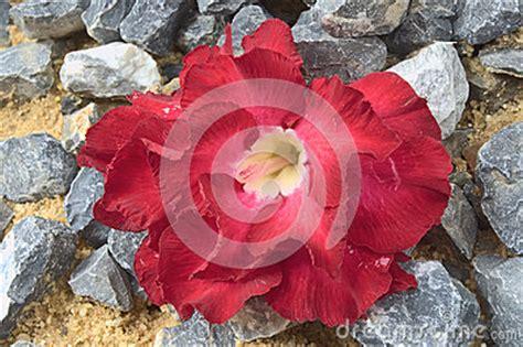 fiore rosa deserto genere raro di fiore della rosa deserto adenium