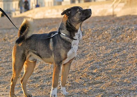rottweiler cross bison rottweiler cross akita dogs d rottweilers and crosses