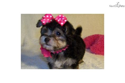 tiny yorkie poos tiny poodle breed with yorkie poo pictures breeds picture