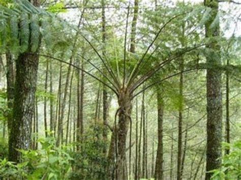 Minyak Pohon Nilam pohon nilam