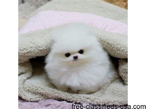 pomeranian breeders dallas micro teacup pomeranian puppies animals dallas announcement 39255