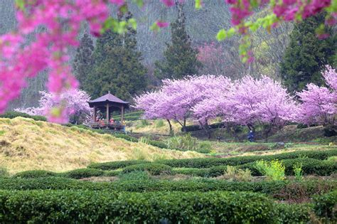 beautiful sakura garden  wuling farm taiwan east asia