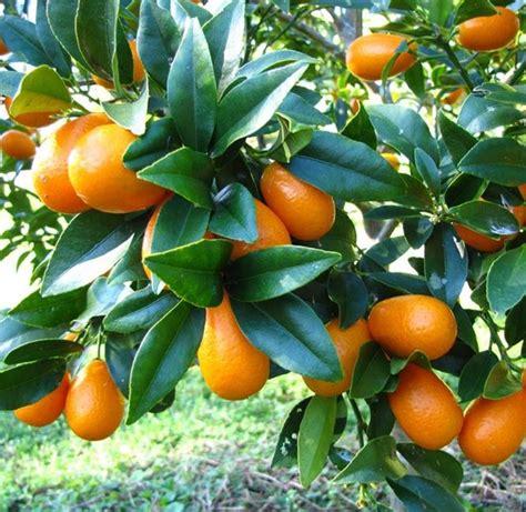 jeruk nagami tanaman buah kumquat tree sour fruit