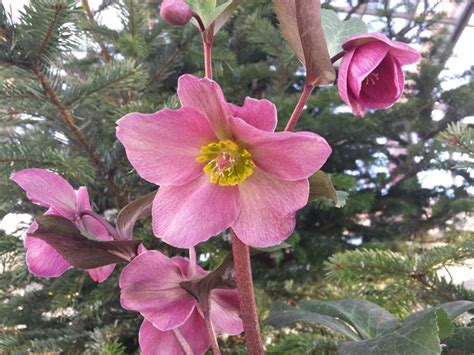 elleboro fiore elleboro helleborus helleborus piante da giardino