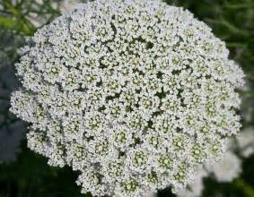 queen anne s lace free stock photo public domain pictures
