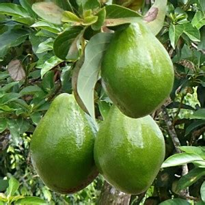 Batu Madu ini khasiat teh daun alpukat untuk sehatkan ginjal