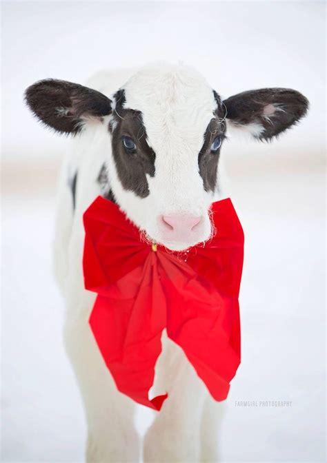 merrie christmas cows pinterest merry christmas christmas   gift