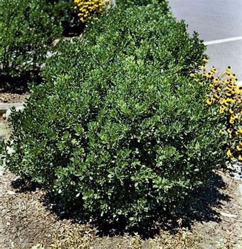 compact inkberry holly black berries to replace the