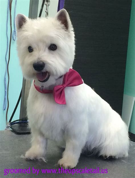 short westie cut google search animals pinterest haircut styles for a west highland white terrier june