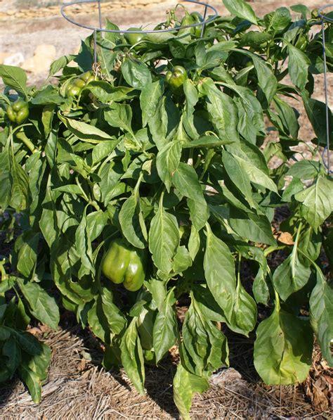 Pepper Planter by The Barefoot Gardener Pepper Passings