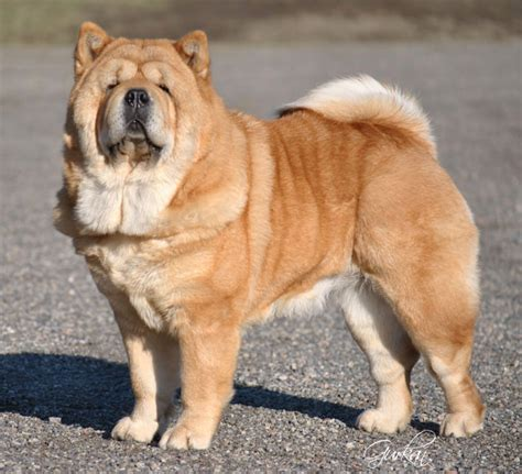 miniature chow chow pomeranian mix displaying 13 gallery images for mini chow chow pomeranian mix images frompo