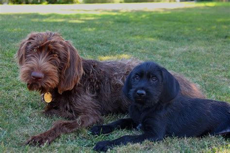 pudelpointer puppies pudelpointer photos