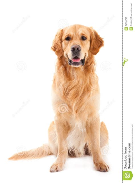 golden retriever sitting golden retriever sitting on white stock photo image 24750780