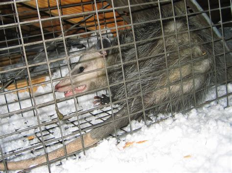 jacksonville florida opossum trapping removal  control