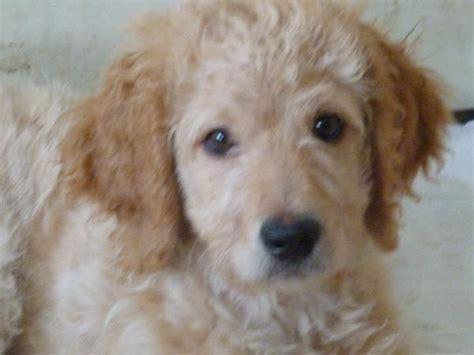 mini doodle kaufen goldendoodle bilder breeds picture