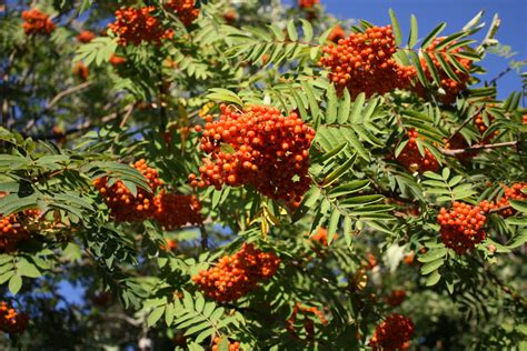 carol steel mountain ash or rowan tree