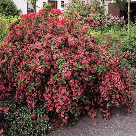 weigelia burgundy red bush bloom diary pinterest gardens trees and bristol