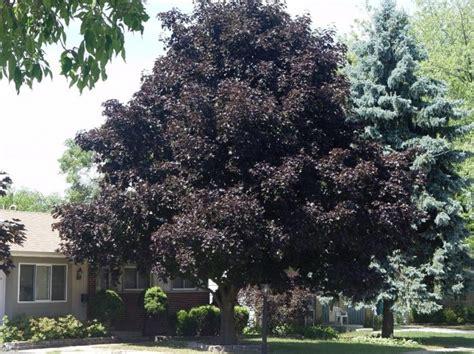 crimson king maple tree seed 10 count