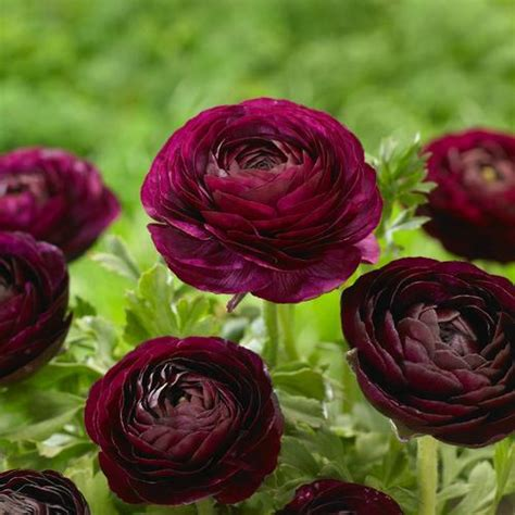 Flower Pot by All About Ranunculus
